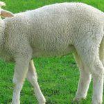 پیشگیری از اسیدوز متابولیکی در گوسفندها با جوش شیرین